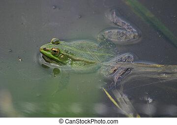 Frog - Nice big green frog