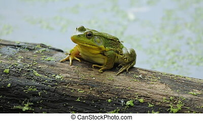 Frog on a log. - Green frog sitting on a log. Ontario,...
