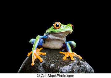 frog on a rock isolated black - frog on a rock closeup and...