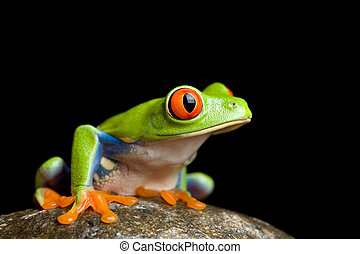 frog on a rock - red-eyed tree frog (Agalychnis callidryas) ...