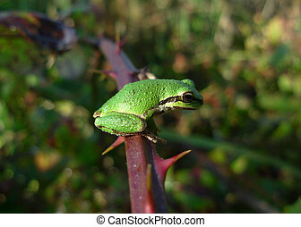 Frog on Bramble - Pacific Green Tree Frog perches on thorny...