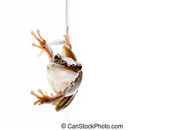 frog on glass - green treefrog clinging to the side of a...