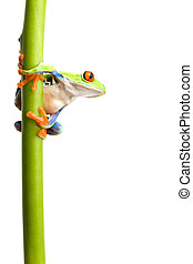 frog on plant stem isolated - frog on a green plant stem...