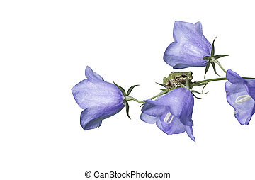 Frog on Purple Flowers - Pacific Tree Frog on stem of native...