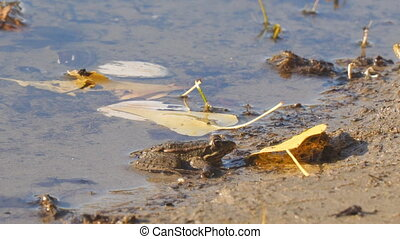 Frog on shore next to fallen yellow leaves - Frog on the...