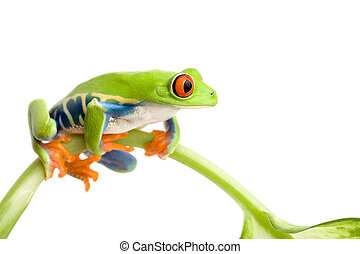 frog sitting on a stem isolated on white, red-eyed tree frog (Agalychnis callidryas)