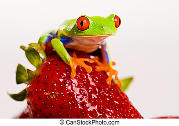 Frog on Strawberry - A red eyed tree frog sitting on a fresh...