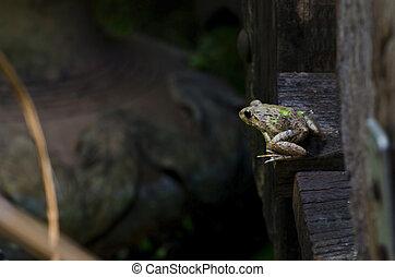 frog on the wooden bridge