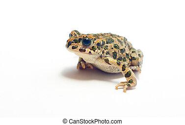 Frog on white - little nice frog sitting on white background