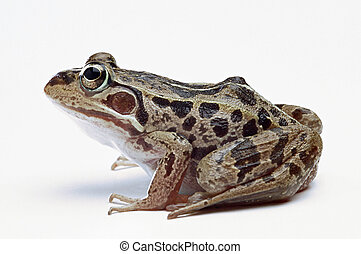 Frog. - Frog on a white background.