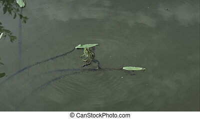 frog pushes leaf swimming in alake water on a sunny day -...