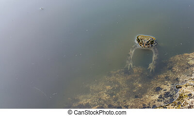 Frog in the pond.