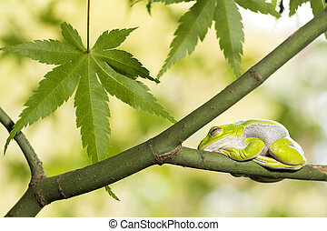 Frog resting on tree - Schlegel's green tree frog resting on...
