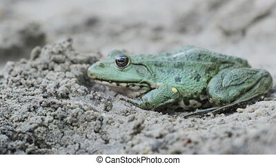 Frog Sit on the Sand near the River Bank. Close-up. Portrait of Green Toad. Frog breathes near marsh. Lake frog is waiting. Macro. Animal eye. Pelophylax ridibundus. Summer, sunny day.