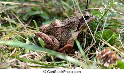frog sits in grass. close up