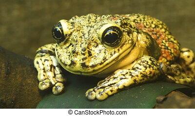 Frog sits on a leaf. - Frog sits on a leaf close up.