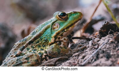 Frog Sits on the Sand near the River Shore. Close-up. Portrait of Green Toad. Frog stirs his nostrils and breathes. Summer, sunny day. Lake frog is waiting. Macro. Animal eye. Pelophylax ridibundus.
