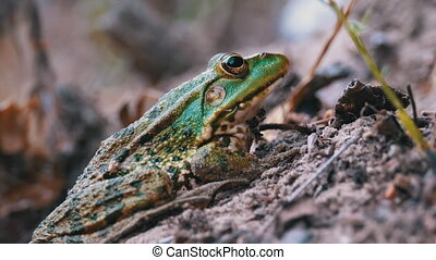 Frog Sits on the Sand near the River Shore. Portrait of ...