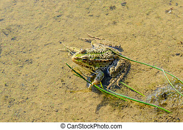 Frog Sitting in Water