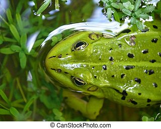 Frog sitting in water.