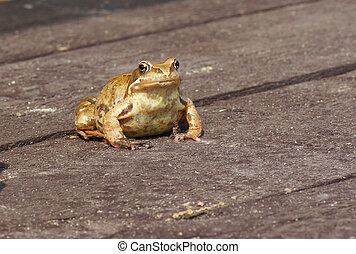 Frog sitting on a wooden surface.