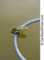 Frog sitting on floating ring