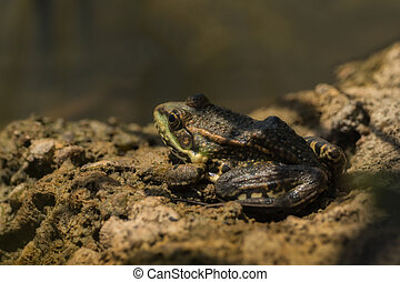 Frog sitting on the ground in the sun