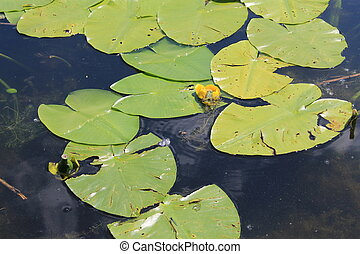 Frog sitting on the water flower