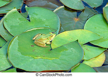 Frog (Species: Hyla arborea) resting on waterlily leaves, in...