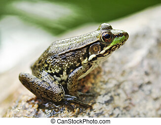 frog - Common water frog on a stone