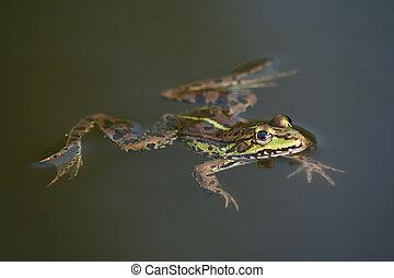 Frog - Swimming frog
