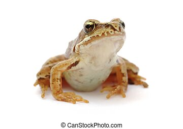 Frog - Young grass frog - Rana temporaria