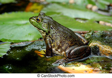 Frog - close up of a lazy frog in a pond