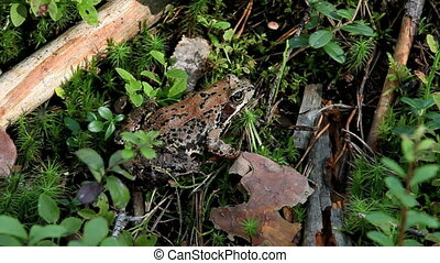 frog - Forest Frog in nature