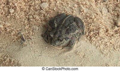 Frog - earthen frog.