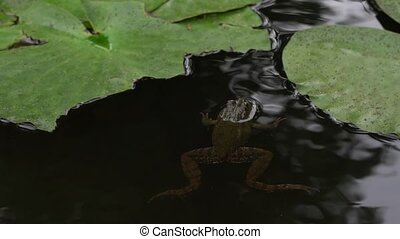 Frog swimming and croaking in pond.