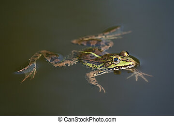 Frog - Swimming frog