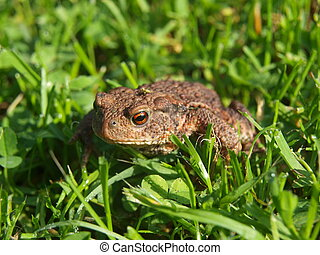 frog - toad in the grass