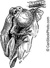 Frog, vintage engraving