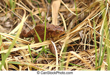 frog walking on grass - Common frog closeup walking on grass