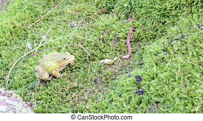frog worm catch - green frog lithobates clamitans predator...