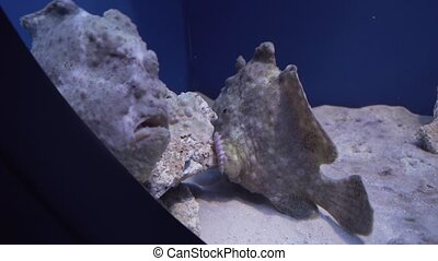 Frogfishes are any member of anglerfish family Antennariidae stock footage video