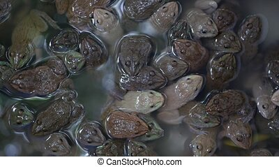 Frogs in dirty water on market. Top view of many frogs swimming in muddy water of overcrowded terrarium on Chatuchak Market in Bangkok, Thailand.