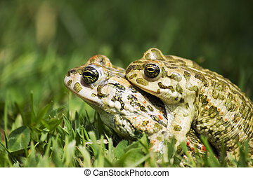 frogs in love in the grass
