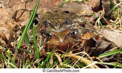 frogs love