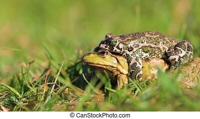 frogs of different types mate producing hybrids, wildlife,...
