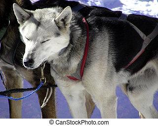 une chien fatigu bassett sien stands reposer chaud quoique garde chien de chasse. Black Bedroom Furniture Sets. Home Design Ideas