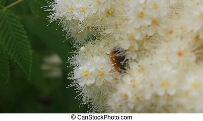 From a beautiful lush flower climbs hairy bumblebee and...