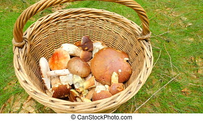 From the top shot of hand placing boleti mushrooms in wicker...