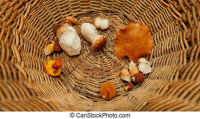 From the top shot of hand placing boleti mushrooms in  wicker basket.  The mushroom hunting